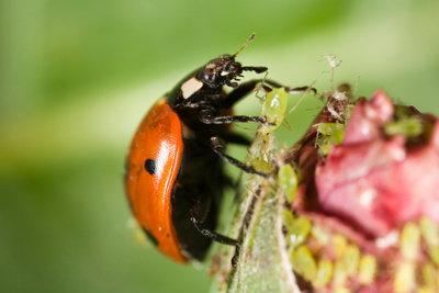 Ein bewährtes Hausmittel gegen Blattläuse ist das Einsetzen von Marienkäfern.