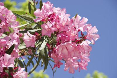 Oleander bildet neue Blüten am Holz des Vorjahres.