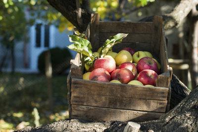 Direkt nach der Apfelernte schmecken die Früchte am besten.
