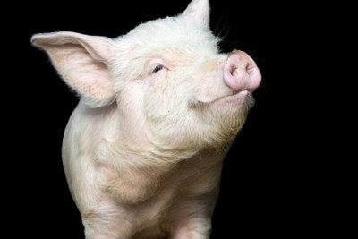 Bei Spanferkeln handelt es sich um junge Schweine.