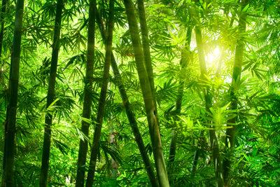 Mit verschiedenen Scheren schneiden Sie den Bambus zurück.