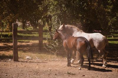 Offenstallpferde sind nicht nur ruhiger und ausgeglichener sondern pflegen auch ihr Sozialverhalten.