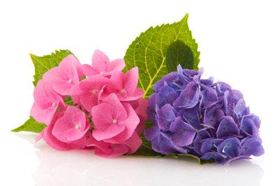Ob Ihre Hortensien rot oder blau blühen, entscheidet das Düngen mit.