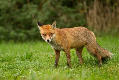 Einen Fuchs können Sie schnell und sicher aus dem Garten vertreiben.