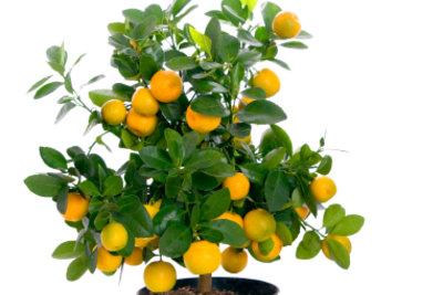 Citrus microcarpa sollte als veredelte Pflanze gekauft werden.
