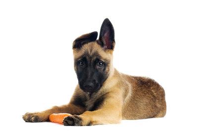 Frische Möhren versogen den Hund mit Vitaminen und können als Knabberspass angeboten werden.