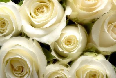 Rosen züchten gelingt mit etwas Übung auch ambitionierten Hobbygärtnern.