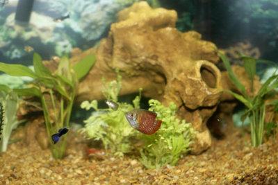 Guppies eignen sich gut als Fische für Anfänger, da die Tiere nicht viele Ansprüche stellen.