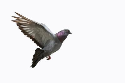 Taubenarten lassen sich gut über verschiedene Merkmale im Nackenbereich unterscheiden.
