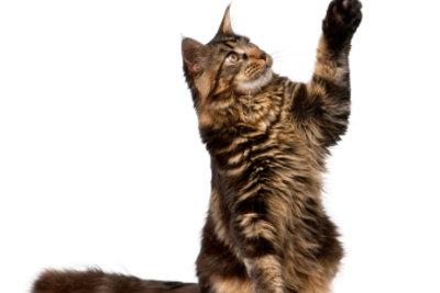 """""""Gib mir fünf"""" ist einer der Katzentricks, die Ihre Katze lernen kann."""