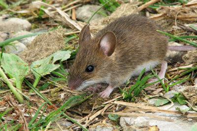 Mit speziellem Ködergift können Sie die Maus herauslocken und gleichzeitig vergiften.