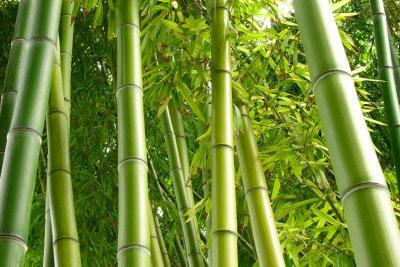 Bambus ist vielseitig - und als Tee vor allem lecker!