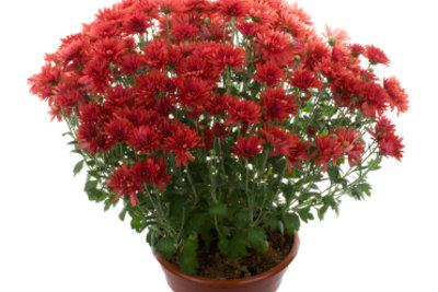 Zum Überwintern müssen Sie Chrysanthemen in den Garten pflanzen.