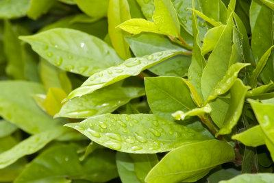 Kirschlorbeer ist eine immergrüne Pflanze, die sich besonders gut als Hecke pflanzen lässt.