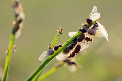 Fliegende Ameisen befinden sich auf dem Hochzeitsflug.