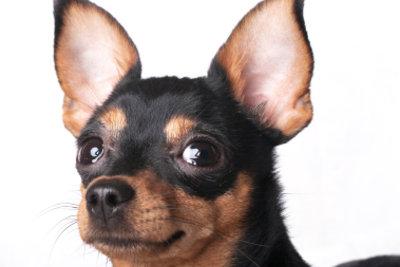 Das nasse Ohr als Anzeichen einer Entzündung!