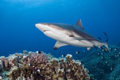 Im Mittelmeer gibt es Haie.