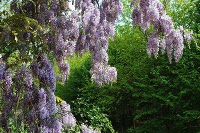 Blauregen ist eine schwach giftige Pflanze.