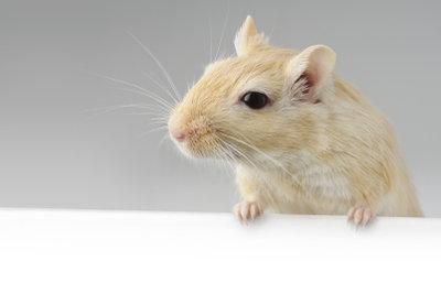Mäuse sollten nie einzeln gehalten werden!