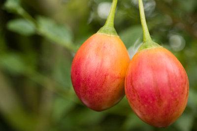 Die Früchte des Tomatenbaums sind tomatenähnlich.