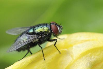 Nach dem schlüpfen bleiben nur Fliegenpuppen übrig.