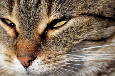 Katzengrippe sollte vom Tierarzt behandelt werden!