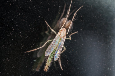 Einige Zuckmückenarten haben einen grell grünen Körper.