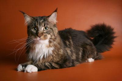 Maine Coon Katzen haben langes, weiches Fell.