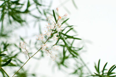 Zierspargel trägt im Frühjahr zarte Blüten.