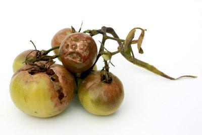 Braunfäule vernichtet die gesamte Tomatenpflanze.