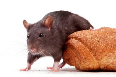 Ratten teilen den Lebensraum des Menschen.