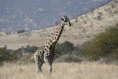 Giraffen lassen an Afrika denken.