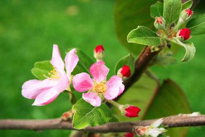 Bei vielen Apfelbäumen ist die Befruchtung kein Problem.