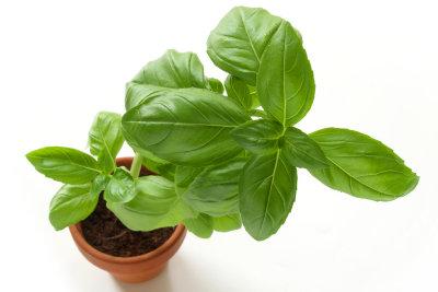 So züchten Sie Basilikum selbst.