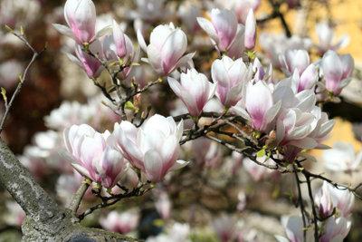 Ein wunderschön blühender Magnolienbaum.