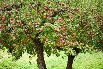 Ertrag beim Apfelbaum durch Baumschnitt sichern.