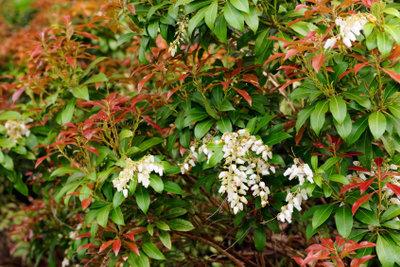 Die Glanzmispel bringt glänzende, farbige Blätter hervor.