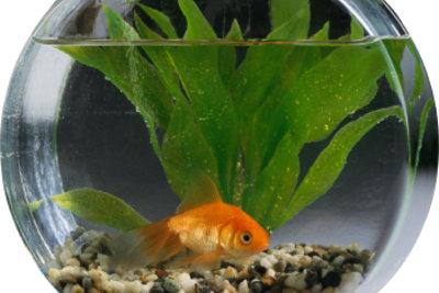 Auch Fische mögen es zuhause sauber. Reinigen Sie also regelmäßig Ihr Aquarium!