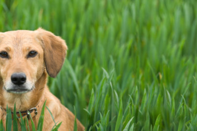 Bekämpfen Sie lästige Grasmilben beim Hund wirksam. Er wird es Ihnen danken.