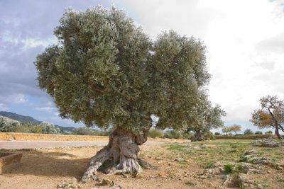 Mediterrane Olivenbäume - mit der richtigen Pflege auch hier zu haben