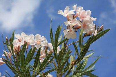 Richtig gepflegt ist Oleander ein üppiger Strauch.