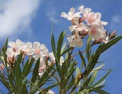 Oleander Pflegen