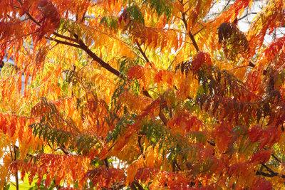 Der Essigbaum ist besonders wegen seiner Farbenpracht im Herbst ein beliebter Zierstrauch