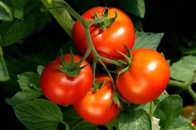 Die Tomate ist eine der beliebtesten Pflanzen in deutschen Gemüsegärten.
