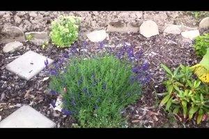 Lavendel ernten - so geht´s richtig