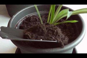 Grünlilie - Ableger ziehen und versorgen