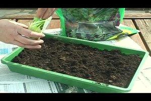 Kohlrabi pflanzen - Pflegeanleitung