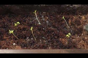 Petersilie pflanzen - so geht's