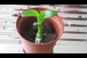 Orchideenableger einpflanzen - Anleitung