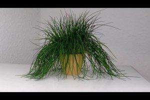 Schnittlauch selber züchten und pflegen - darauf sollten Sie achten